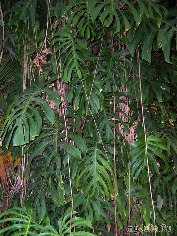 цветы с воздушными корнями название и фото